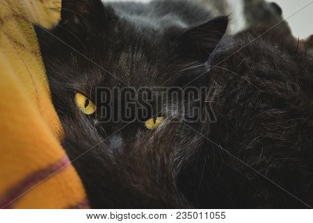 Chantilly-tiffany Cat (tomcat) Before Sleep Looking Through His Tail To Camera. Black Chantilly Cat