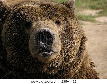 Pouty Bear