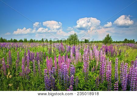 Beautiful Rural Landscape With Purple Flowers On A Wild Meadow. Clear Sunny Summer Day. White Clouds