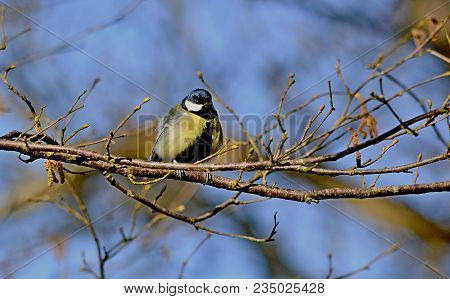 Great Tit, Parus Major, A Member Of The Titmouse Order