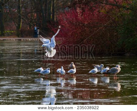 Gull Landing And Others Walking On Semi-frozen Pond At Leases Park In Newcastle