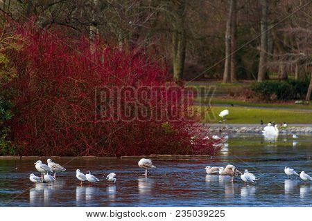 Gulls Walking On Semi-frozen Pond At Leases Park In Newcastle