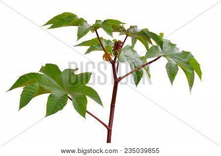 Ricinus Communis, Castorbean Or Castor-oil-plant. Isolated Onwhite Background.