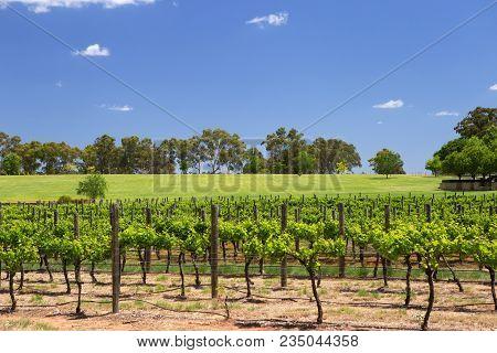 Rows Of Vines At Swan River Winery, Western Australia