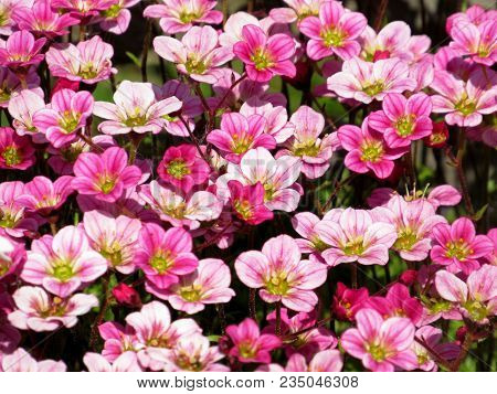 Background Little Pink Flowers Plant. Saxifraga Pink Little Flowers Background. Purple Flowers Or Pi