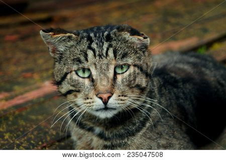 Stray Sad Tabby Cat On The Street Looking At Camera. Stray Homeless Cat Wanders On Streets In Search