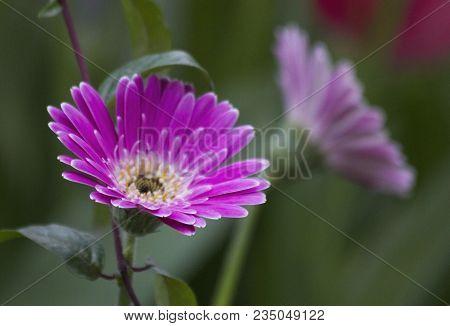 Pink Gerbera Jamesonii Flower. Macro Gerbera Daisy In Green Garden. Beautiful Pink Gerbera In Flower