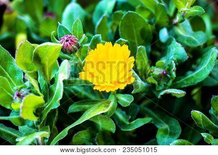 Opened Yellow Solitary Flower. An Open Yellow Flower. Macro Shot Of A Yellow Open Flower.