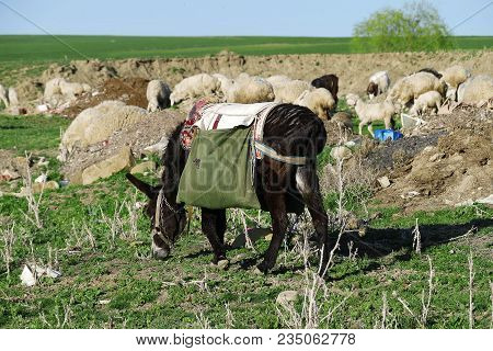Spreading Flock Of Sheep, Shepherd Donkey Carrying A Load, Sheep Grazing And Donkey, Grazing Black D