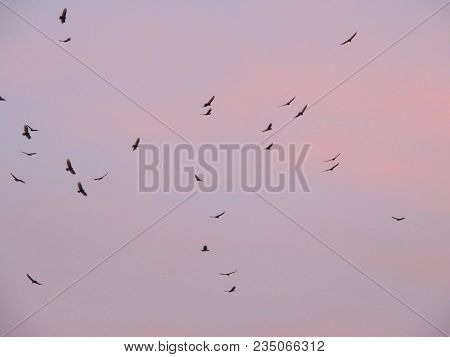 Turkey Vultures (cathartes Aura Aves Cathartidae ) Buzzards Soaring At Sunset Near St George Utah In