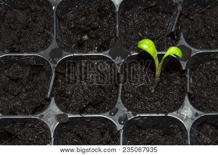 Green little sprout sprouted out of the ground.A young escape growing out of the ground.Spring seedl