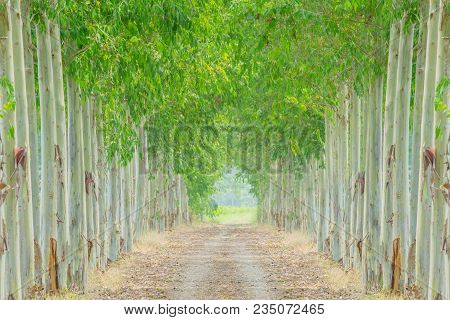 Empty Road With Row Eucalyptus Tree On Sides In Garden