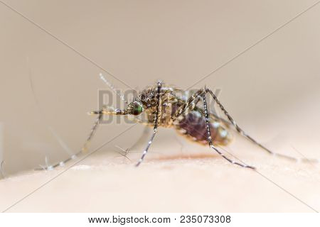Aedes Aegypti Or Yellow Fever Mosquito Feeding Blood On Human Skin, Virus Carrier Spreading Dengue,