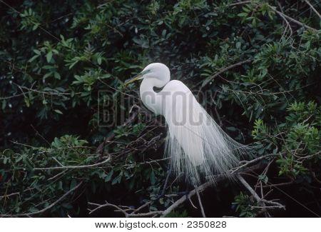 Great egret in breeding plumage. Telephot shot taken in Florida poster
