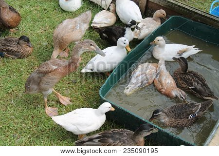 A Mixed Collection Of Ducks In A Small Farmyard Setting.