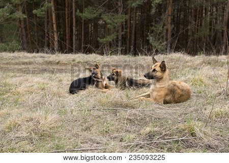 3 Stray Dogs Mutts Lie On The Ground On A Dry Grass