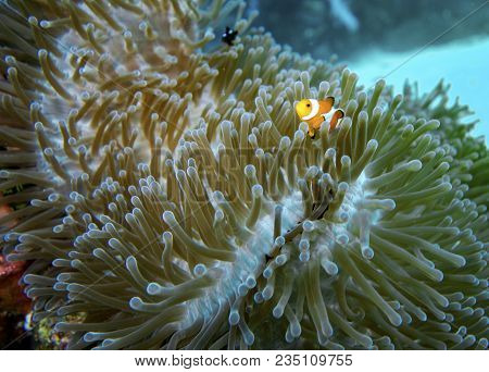 A Colorfull Clown Fish In A Soft Coral