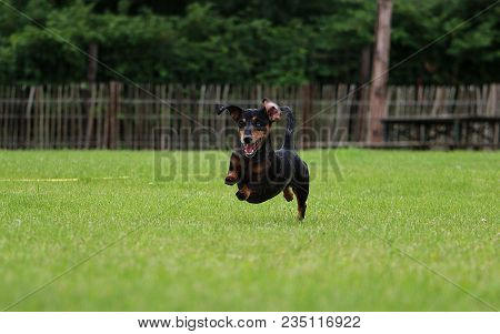 Funny Tiger Teckel Is Running In The Garden