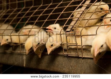 White Chickens In A Cage At The Poultry Farm.industrial Production Of Meat And Eggs