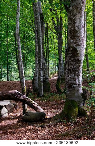 Beech Forest In Summer. Lovely Nature Scenery With Green Foliage