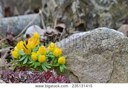 View Of First Spring Yellow Flowers. South Bohemia, Czech Republic