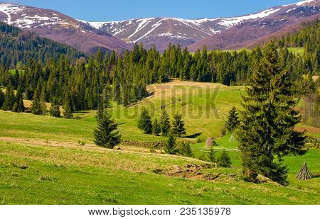 Beautiful Springtime Landscape Of Carpathians. Coniferous Forest On A Grassy Meadow At The Foot Of T