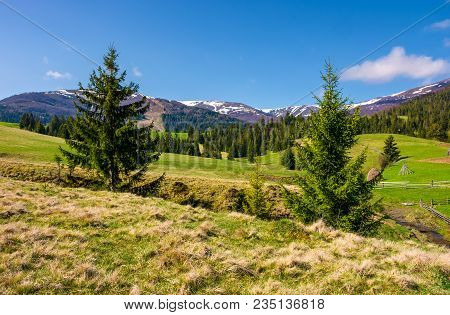 Beautiful Carpathian Countryside In Springtime. Coniferous Trees On Grassy Rolling Hills. Borzhava M
