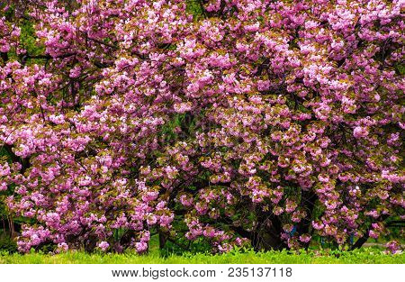 Branches Of Blossoming Cherry Tree Over The Grassy Lawn In The Park. Beautiful Springtime Background