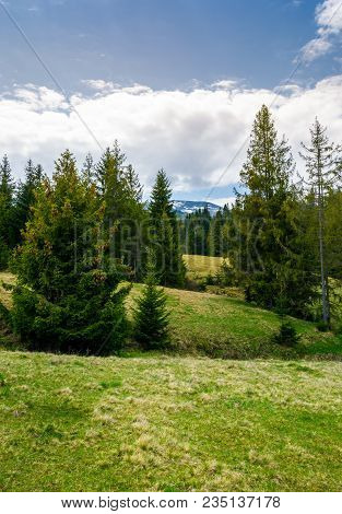 Spruce Forest On Rolling Hills. Beautiful Springtime Landscape In Mountainous Area
