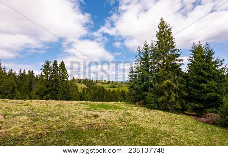 Meadow Among The Spruce Forest. Beautiful Springtime Landscape In Mountainous Area