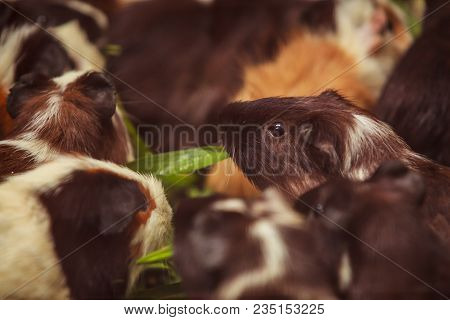 Closeup, Selective Focus On White, Red Brown Guinea Pigs Eating Morning Green Glory Vegetable Pet Fo