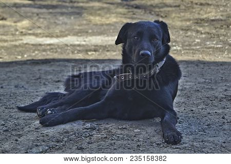 Portrait Of A Black Mongrel Dog In A Collar Resting In The Shade