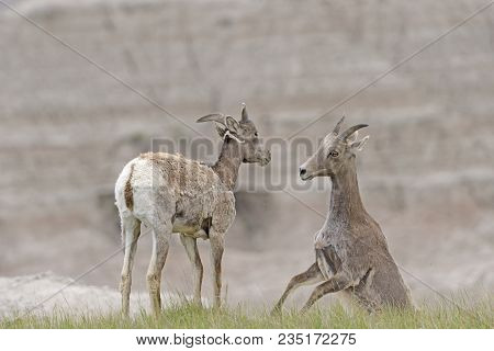 A Pair Of Desert Bighorn Sheep Playing In The Badlands In Badlands National Park In South Dakota