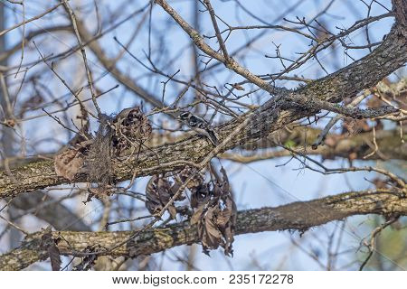 A Downy Woodpecker In The Forest In Congaree National Park In South Carolina
