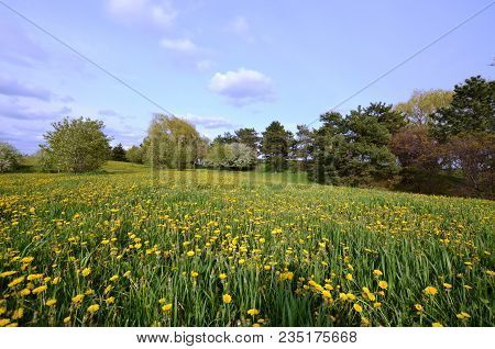 Beautiful Field Of Dandelions And Trees On A Sunny Summer Day With A Blue Sky And Some Clouds