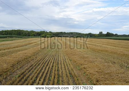 Harvested Wheat Field Crop In The Late Summer