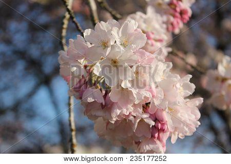 Cherry Blossoms At Oregon Capitol Mall (salem)