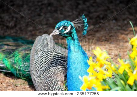 A Watchful Peacock Among The Morning Daffodils