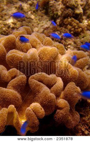 Blue Fish und Anemone