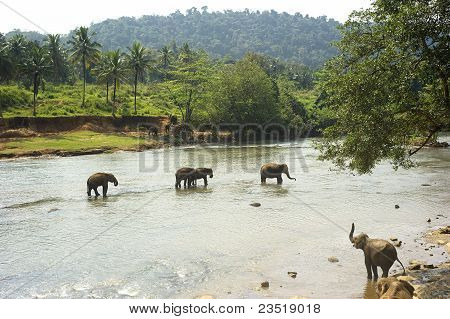 Elephants from the Pinnewala Elephant Orphanage enjoy their daily bath at the local river. poster