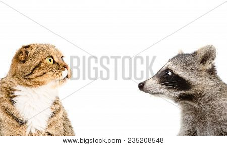 Portrait Of A Funny Raccoon And Cat  Scottish Fold, Isolated On A White Background