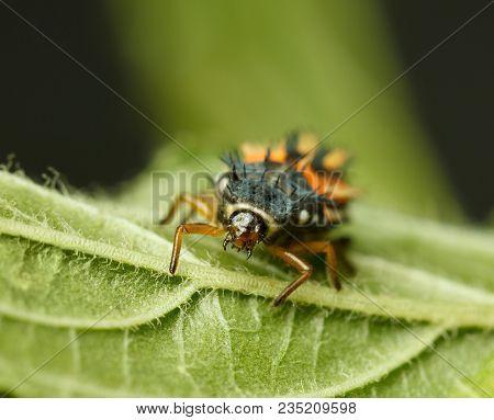Ladybird Larva En Face