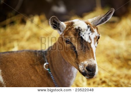 Young brown and white goat sitting in the hay at the state fair