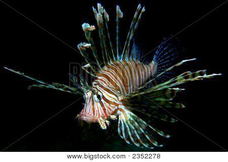 Gemeinsame Lionfish