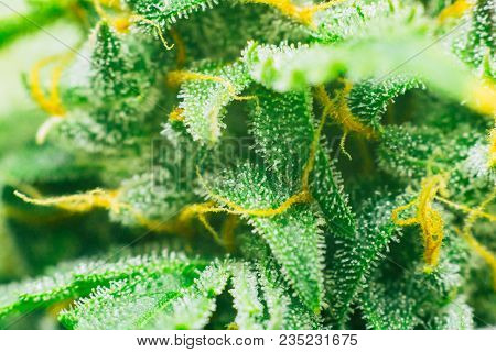 Macro of marijuana cbd thc. Concepts of legalizing medicinal herbs weed, bud cannabis, Macro shot with sugar trichomes, buds grown cannabis in the house, Bud cannabis before harvest poster