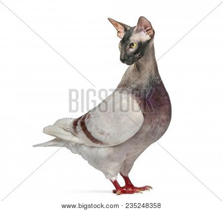 chimera with Texan Pioneer Pigeon and the head of a Sphinx cat against white background
