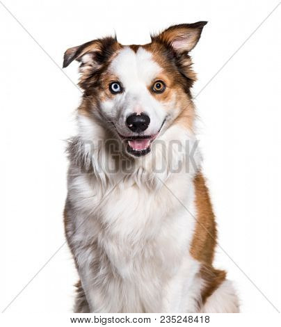 Border Collie with Heterochromia looking at camera against white background