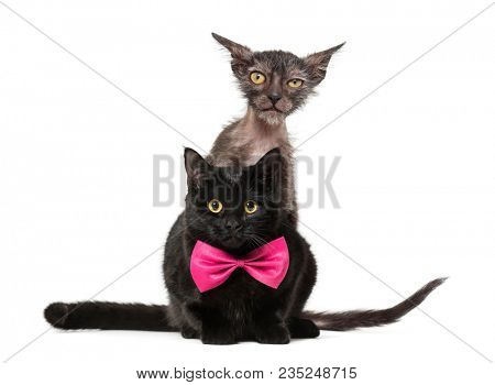 Kitten Lykoi cat, 3 months old, also called the Werewolf cat peering at camera behind black cat against white background