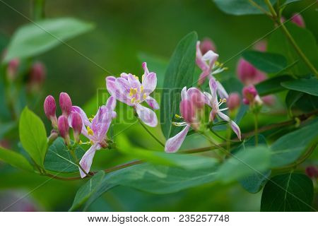 Branch With Pink Flowers And Buds Of Honeysuckle On A Bush Closeup