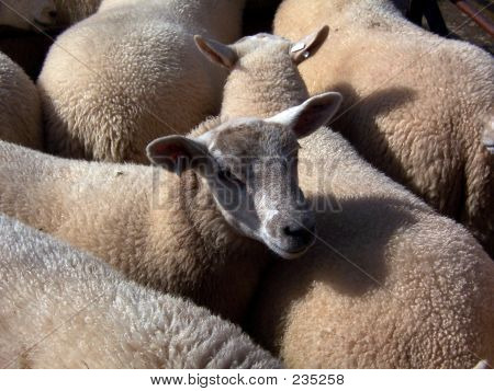 Penned Sheep 2